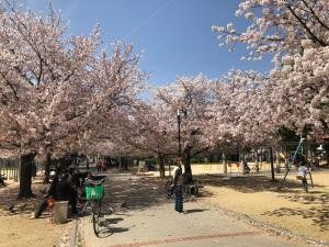桜こうえん1